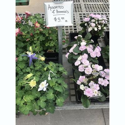 4″ Perennials at The Pocatello Greenhouse