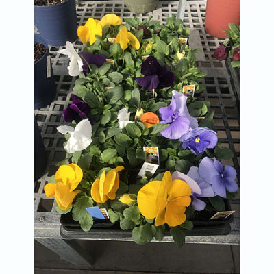 Pansies at The Pocatello Greenhouse